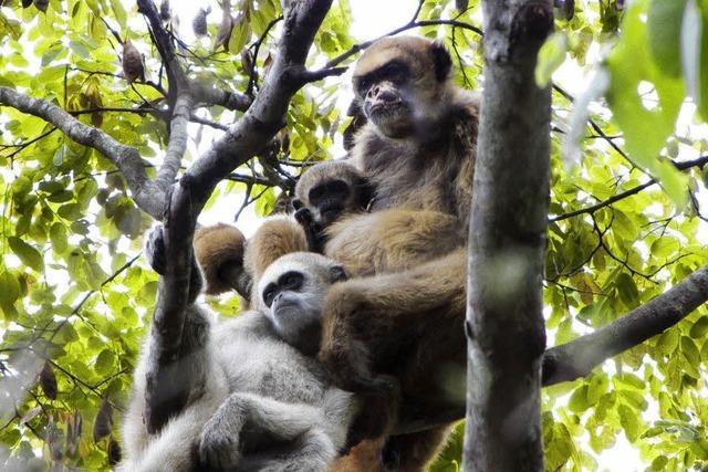 Affenmütter verkuppeln ihre Söhne