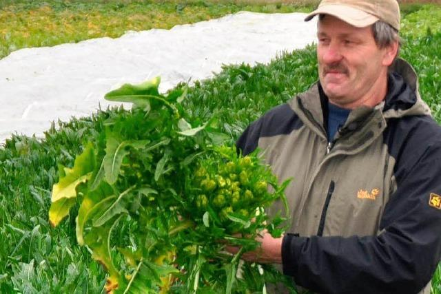 Bauern am Kaiserstuhl pflanzen wieder Zichorie an