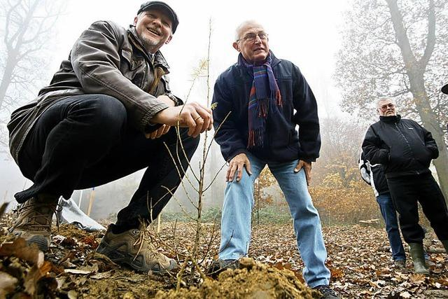 Pflanzversuch mit Baum aus Japan