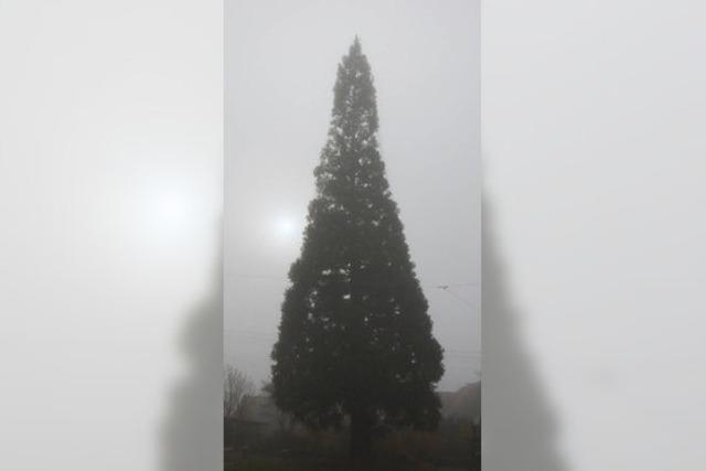 Schmieheim hat den größten Weihnachtsbaum