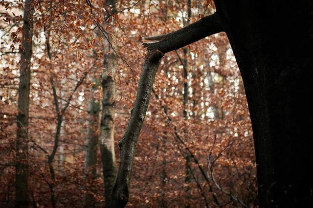 Der Wald erholt sich – Ausnahme ist die Buche