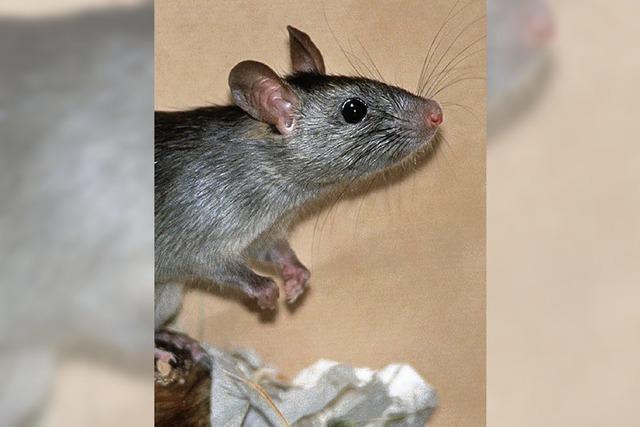 Ratten helfen ihren Freunden