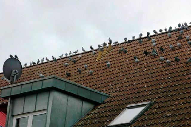 Tauben verdrecken ein Wohngebiet in Neuenburg