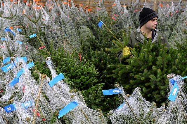 Christbaumverkauf beginnt: Das Geschäft mit dem Nadelbaum