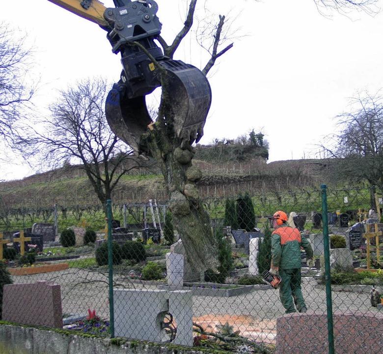 Um mehr Platz auf dem Friedhof zu gewi...n an besseren Stellen ersetzt werden.   | Foto: gustav rinklin