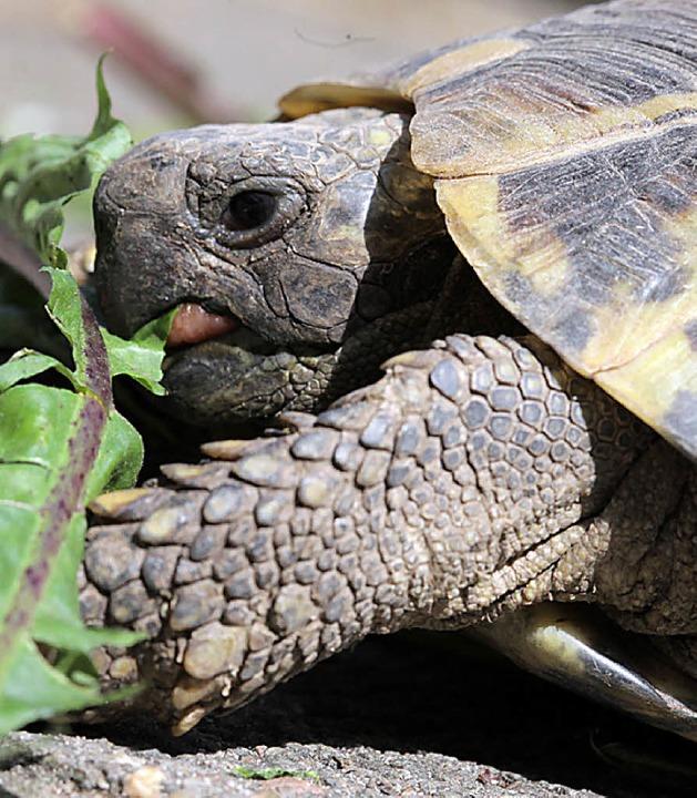 Will im Winter schlafen: Schildkröte  | Foto: dpa