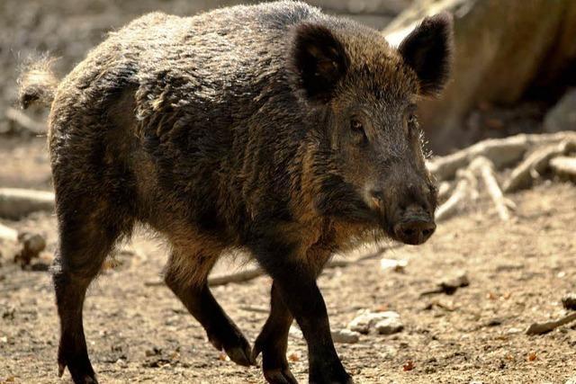 Wildschweinattacken: Reiterin verfolgt - Polizeiauto demoliert