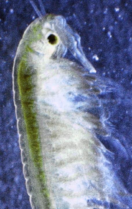 See-Wicht: Der Kiemenfußkrebs bewohnt den See und ist einmalig in Deutschland.  | Foto: André Hönig