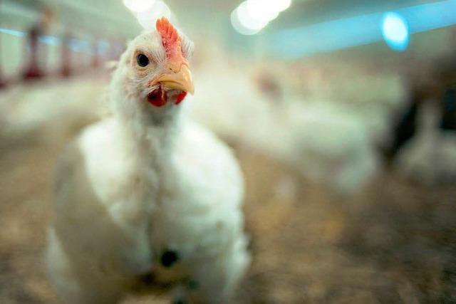 Zu viel Antibiotika: Massenhaft Keime im Hähnchen