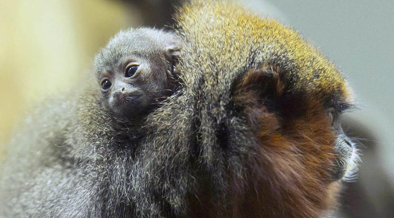 Das Affenbaby vergräbt sich im Fell seiner Mutter.     Foto: Zoo Basel