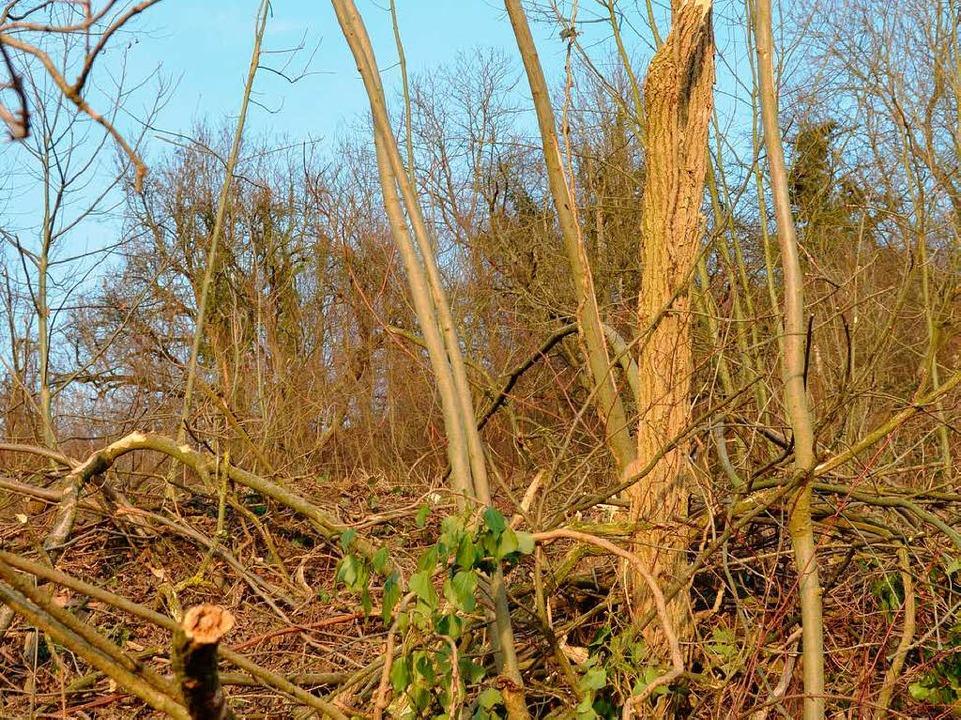 Auch das Unterholz wurde auf Stock gesetzt.  | Foto: Gerhard Walser