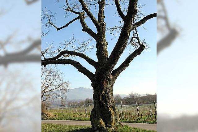 Tage zweier alter Kirschbäume sind gezählt