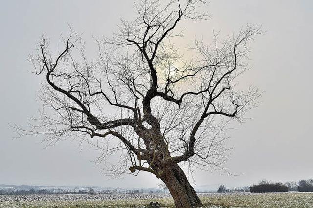 Wie kommen Maulbeerbäume ins Markgräflerland?