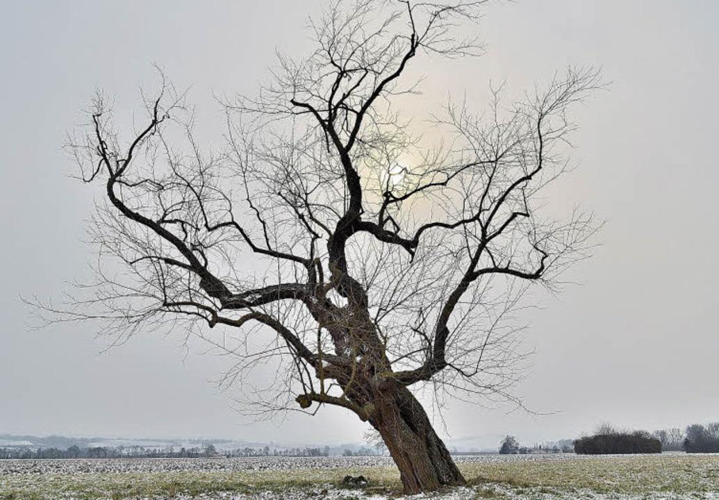 Naturdenkmal mitten im Feld: Einer der...rbäume, die bis heute überlebt haben.   | Foto: Jens-Uwe Voss