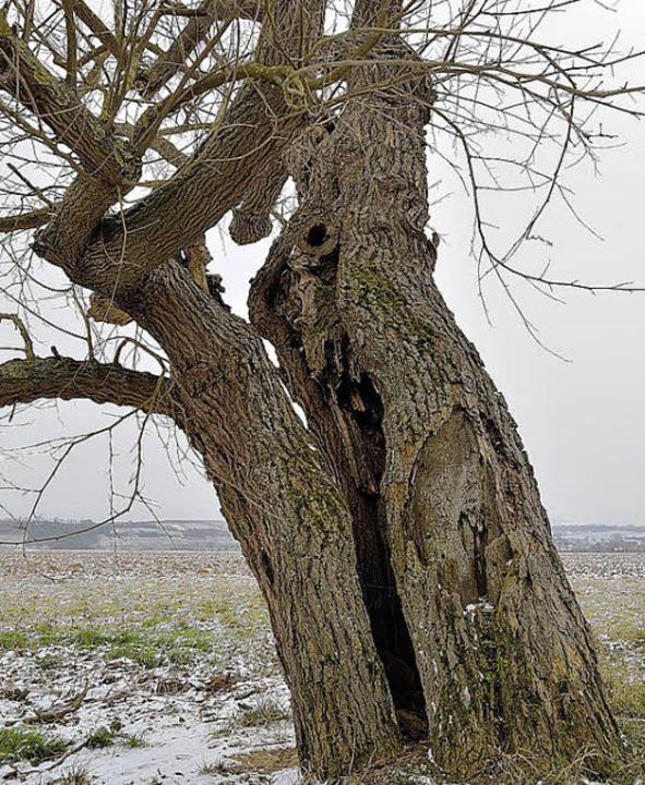 Knorrig und doch vital: der Stamm eines Hügelheimer Maulbeerbaums  | Foto: Jens-Uwe Voss