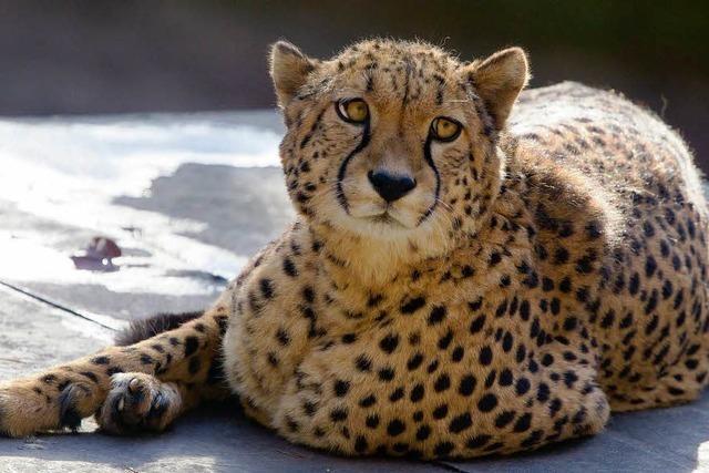 Ein Gepard bricht aus
