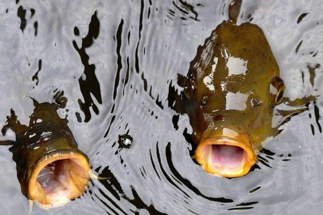 Nanopartikel können Fische beeinflussen