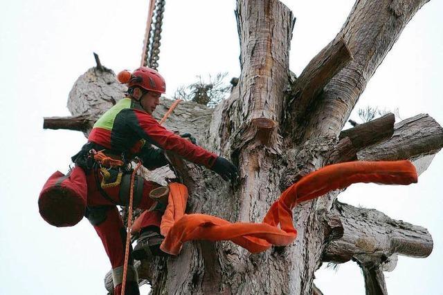 Spezialfirma fällt Mammutbaum in Lahr