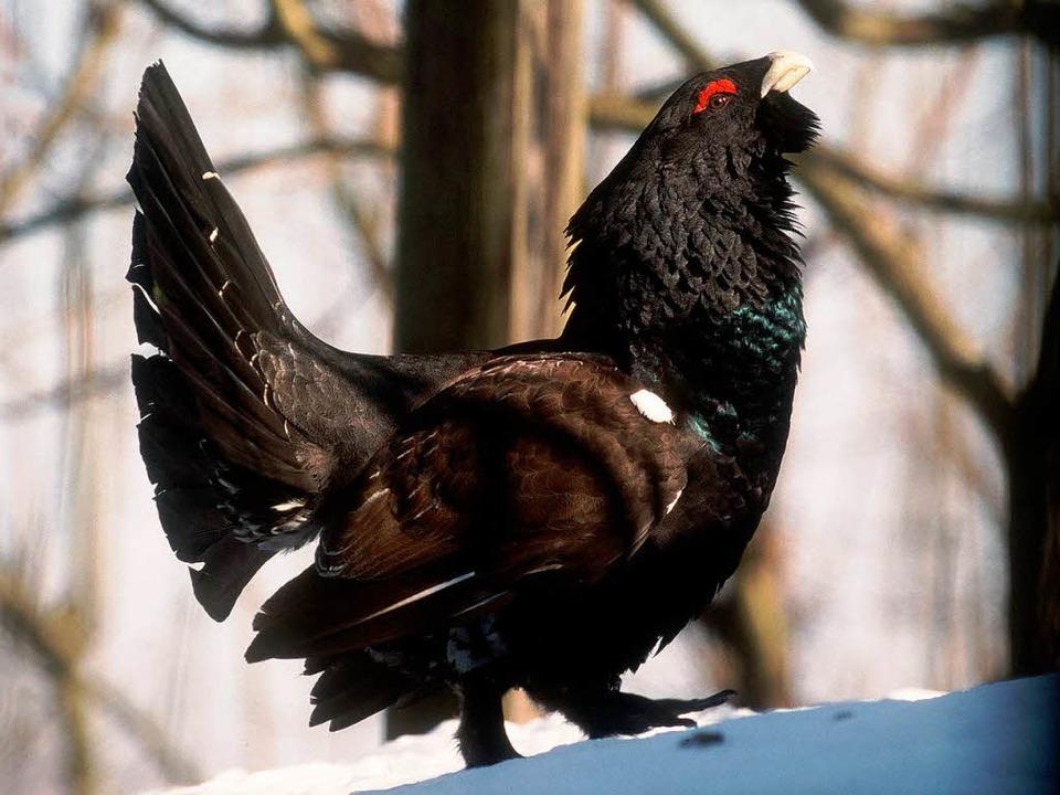 Wenn das Huhn den Rotor für einen Habicht hält  | Foto: Verwendung weltweit, usage worldwide
