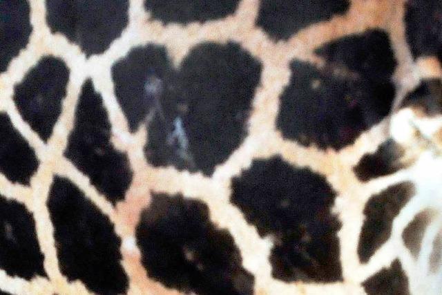 Zoo Karlsruhe lässt Giraffe nach Rangelei einschläfern