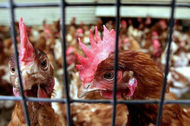 35.000 verhungerte Hühner: Landwirt bekommt Bewährungsstrafe
