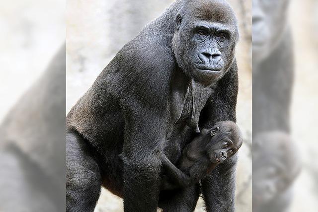 Mensch und Gorilla sind eng verwandt