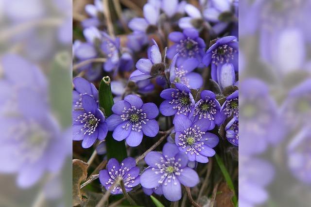 SONNTAG: KLASSIK: Blaue Blume