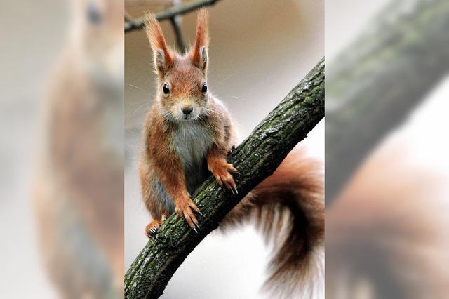 Das Hörnchengrauen