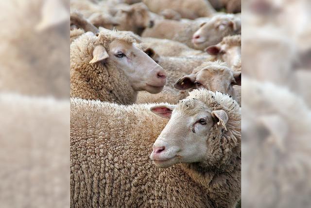 45000 Hühner und 5400 Schafe