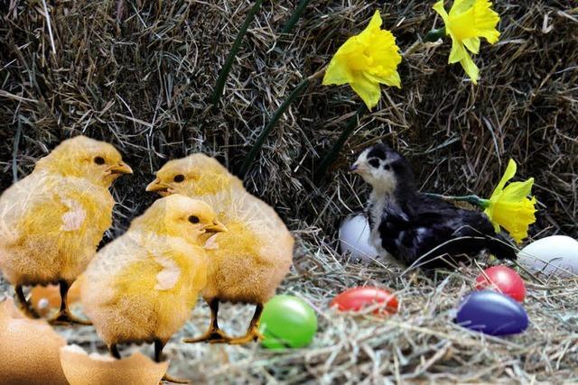 Wie Küken aus den Eiern schlüpfen