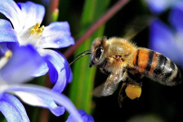 Die Bienen haben es schwer