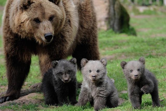Wieder wandern Bären von Italien gen Norden
