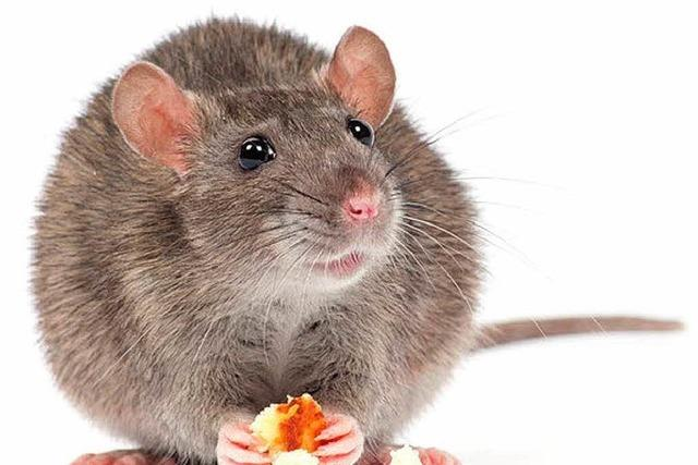 Forscher in Freiburg enträtseln Verjüngung von Mäusegehirnen