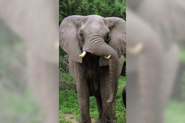 Elefantenpopulation wächst stark: Erwünschte Jagd