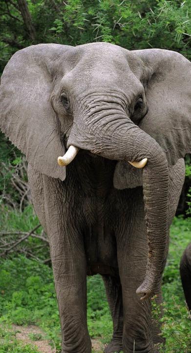 Hat enormen Hunger und Durst: Elefant im südlichen Afrika   | Foto: DPA