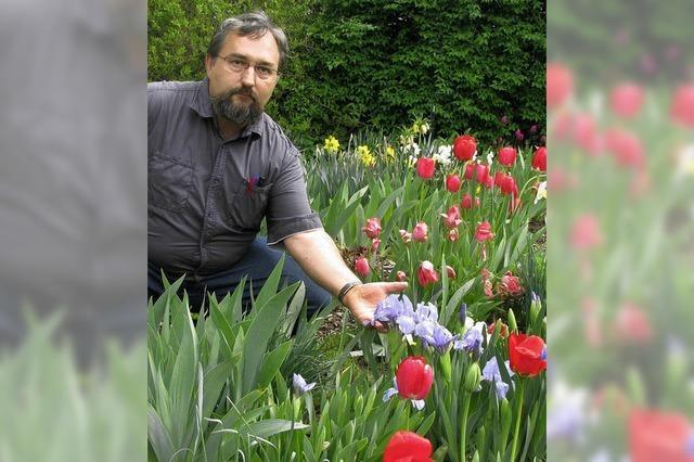 Die Iris in Nachbars Garten