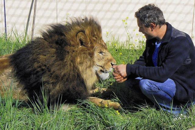 Löwe und Lamm in der Manege