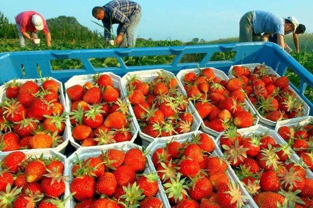 Warum badische Erdbeeren ganz Deutschland erobern
