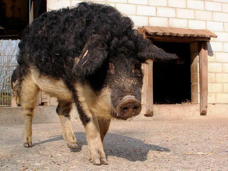 Das Wollschwein sagt ab Freitag die EM-Spiele der Deutschen voraus.  | Foto: Mundenhof