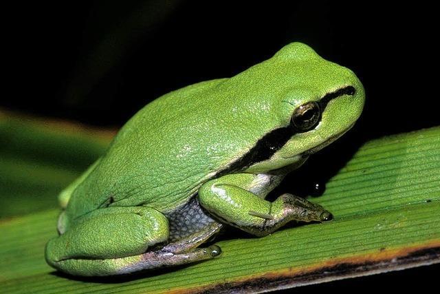 Ohne flache Tümpel und Gräben hat der grüne Frosch keine Chance
