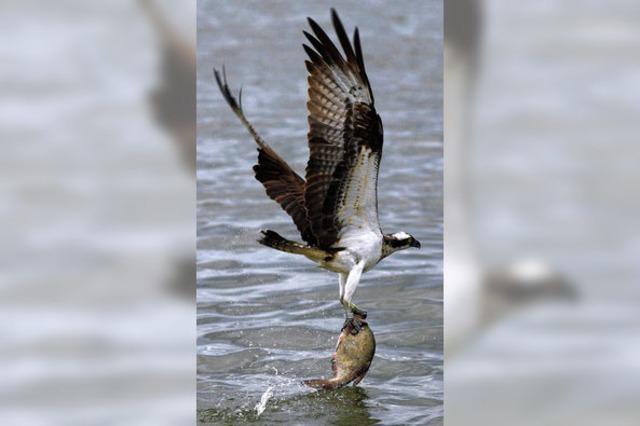 Die Rückkehr der Fischadler