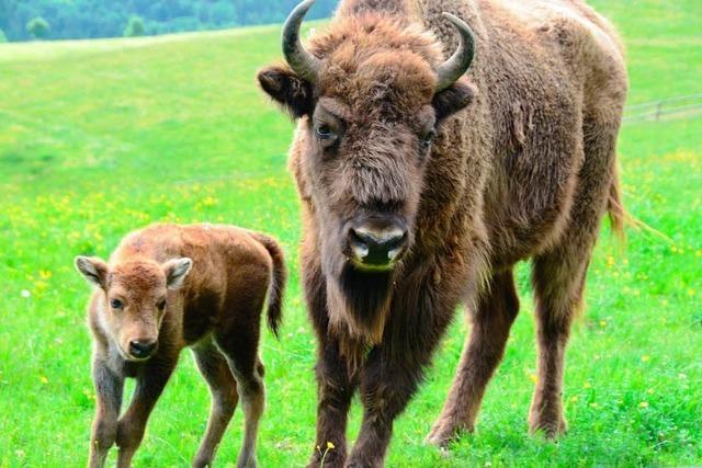 Bisons nach sechs Jahren wieder im Babyglück