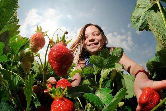 Die Erdbeere: Schmeckt und hilft bei Mundgeruch