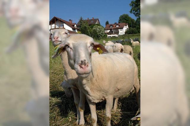 Wiesenpfleger im Wollkleid