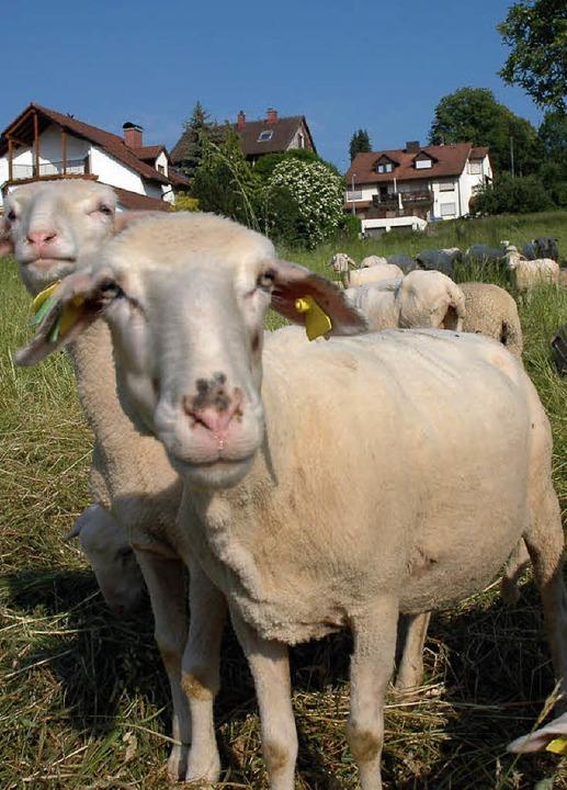Wiesenpfleger im wollkleid l rrach badische zeitung for Schafe halten im garten
