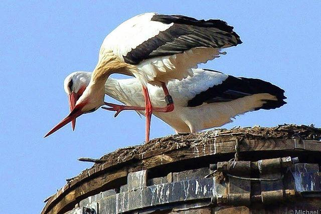 Junger Storch verschollen - führte das feuchte Wetter zum Tod?