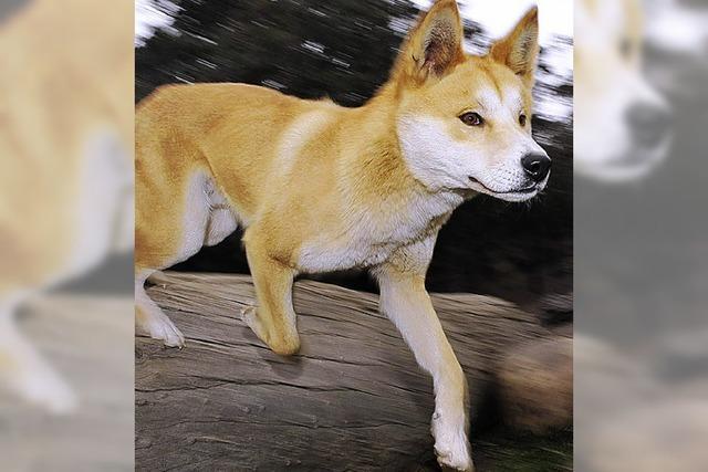 Der Dingo war's