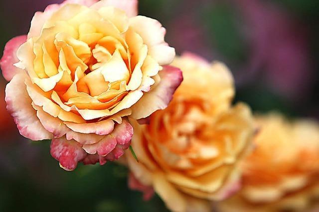 Rosenabend mit Musik und Tanz