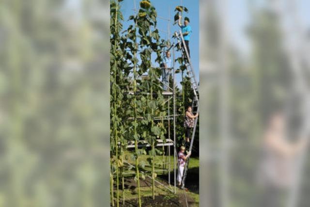 Wie wächst eine Sonnenblume 8 Meter hoch?