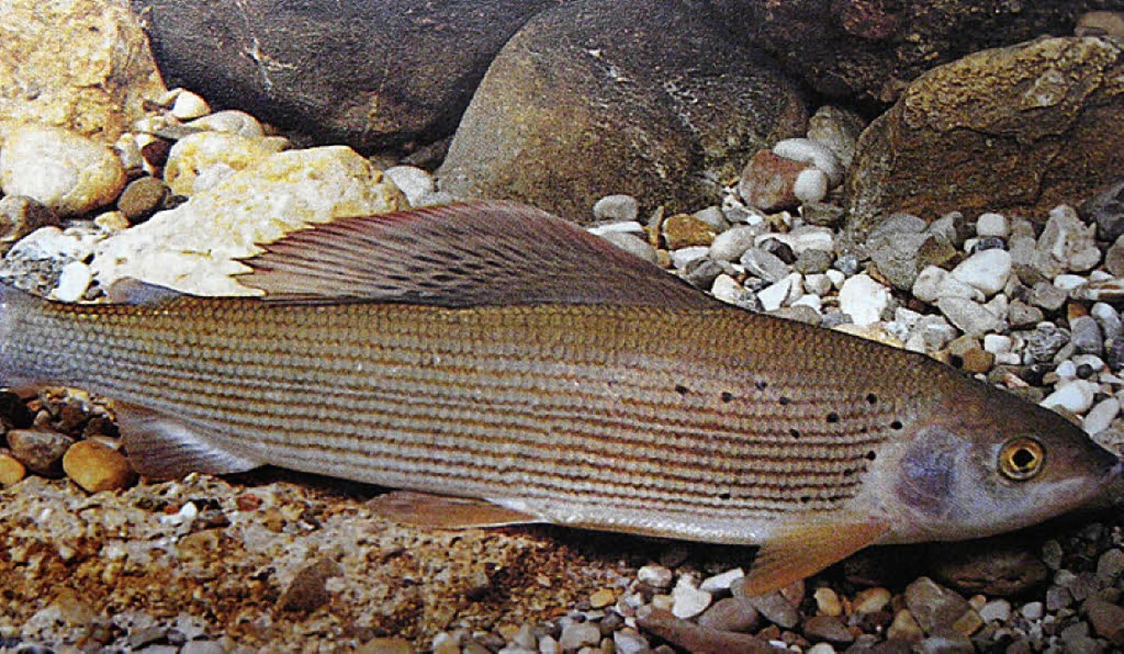 Ein aggressiver Pilz bedroht die Äsche...andere Fische, nun auch  in der Birs.     Foto: ZVG